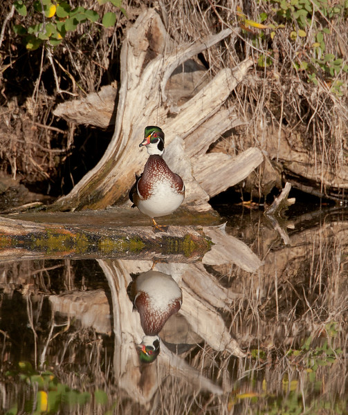 Wood Duck in the IBS