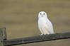 Snowy Owl Patrol