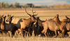 The Bull Elk and his Harem