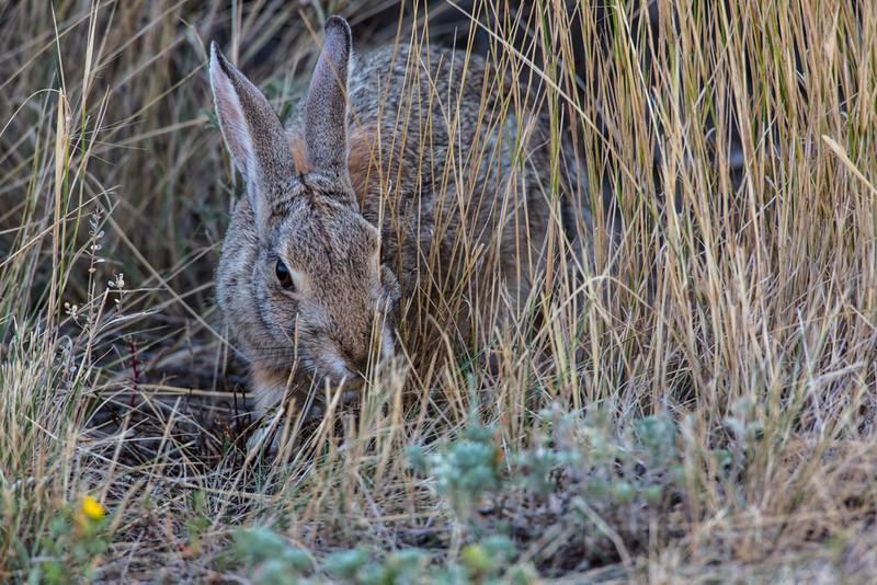 Nuttall's Cottontail Rabbit - Dinosaur Provincial Park,