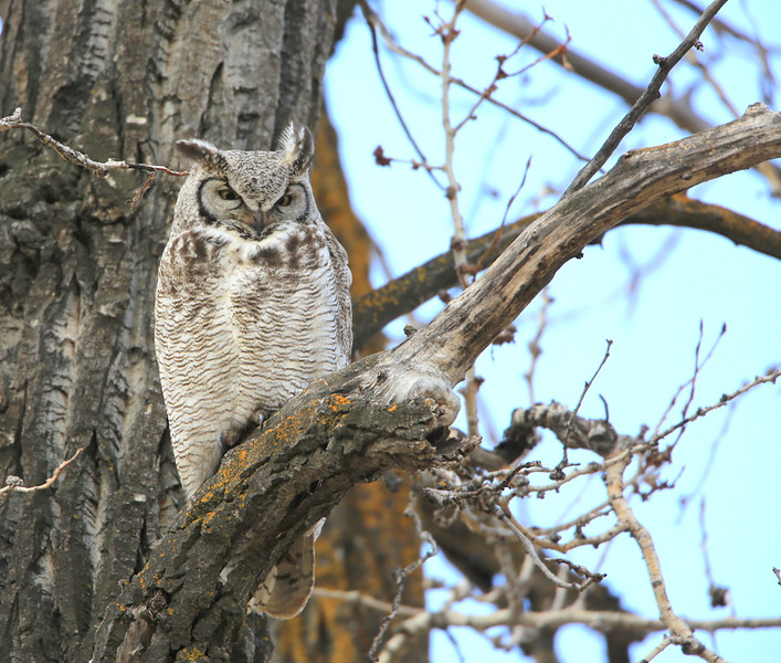 Great Horned Owl - Check out her ear tuffs, the wind was a blowing