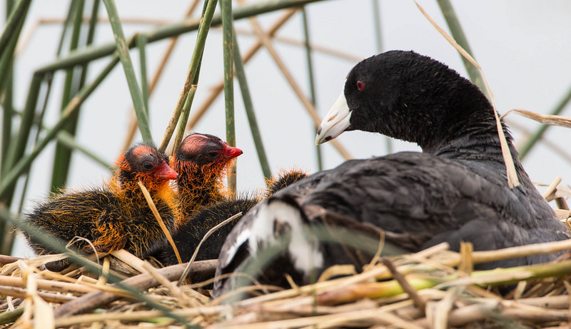 There actually are 4 Coot (cute) chicks, the other 1 is hiding under mom.