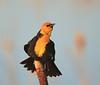 The Yellow Headed Blackbird