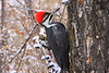 Piliated Woodpecker - Female