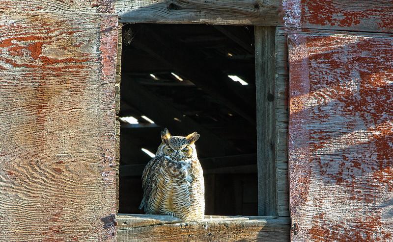 Not A Barn Owl