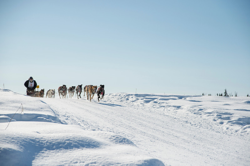 Musher and dogs speed along the trail during the 2014 Open North American Sled Dog Race in Fairbanks, Alaska.