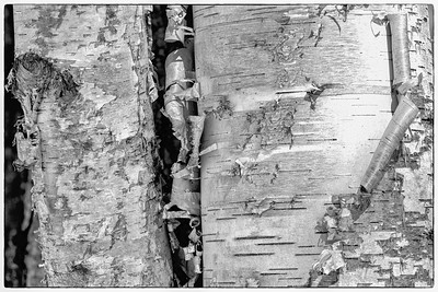 Birtch Bark peeling from birtch tree