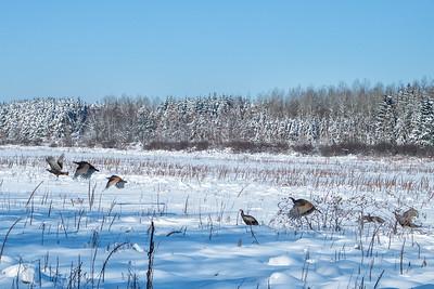 Wild turkeys in Mer Bleu bog