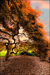 Japanese Maple_21-2-S