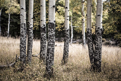 A Group of Fall Aspen