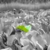 Amazon Lillies