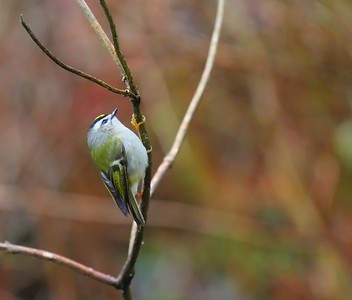 Golden-Crowned Kinglet - Nisqually National Wildlife Reguge - January 2015