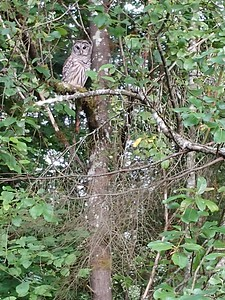 Barred Owl - 2019 July