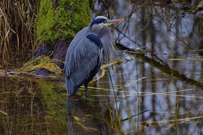Nisqually National Wildlife Refuge Heron - January 2015