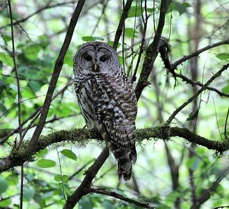 2021 June Barred Owl
