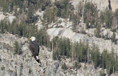 Mammoth Lakes Bald Eagle