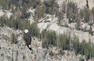 Mammoth Lakes Bald Eagle