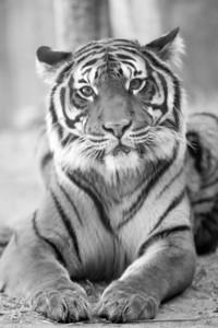 Resting Malayan Tiger