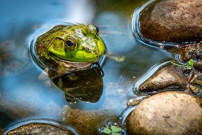 Bull Frog in Pond