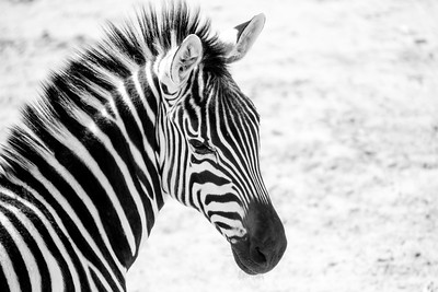 Zebra Turn