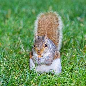 Tree Squirrel at National Mall