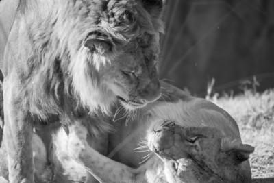 Wrestling Lions