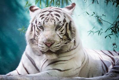 White Tiger Headshot