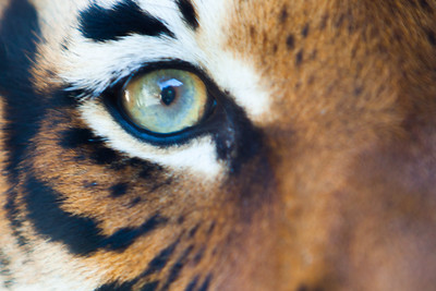 Sumatran Tiger Closeup
