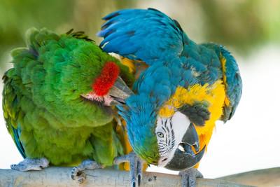 Parrots at Play