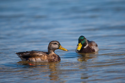 A Pair of Ducks