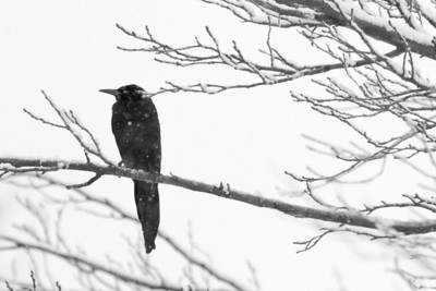 Blackbird on Snowy Branch