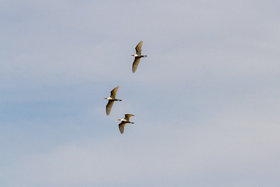 Cattle Egret Trio