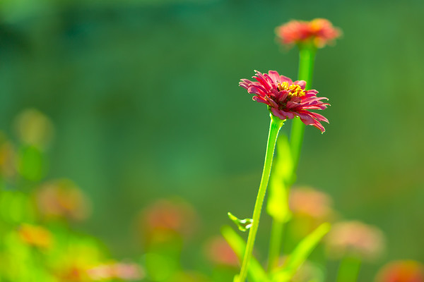 Isolated Pink Zinnia