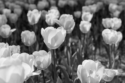 Red Tulips in Black and White
