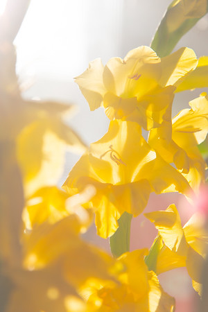 Yellow Gladiolas in Morning Sunlight
