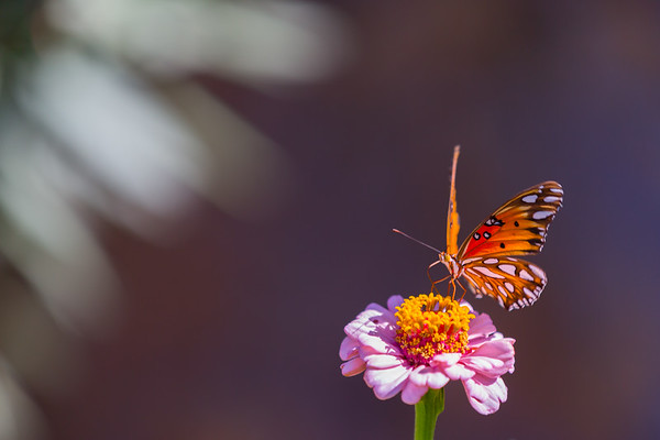 Buttefly and Zinnia