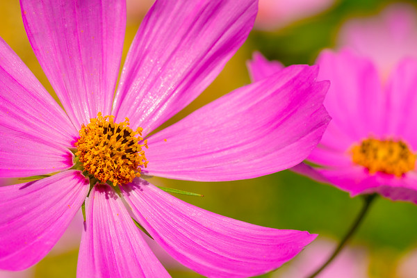 Wild Purple Daisy Pair