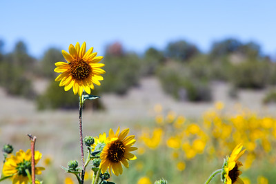 Isolated Sunflowers