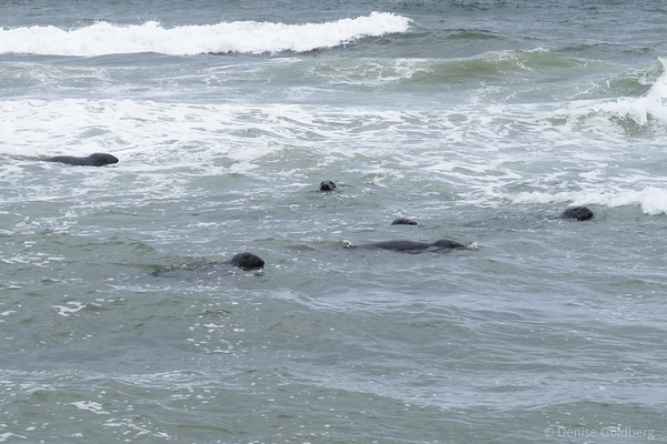 the water just beyond Head of the Meadows Beach is full of harbor seals, surfing