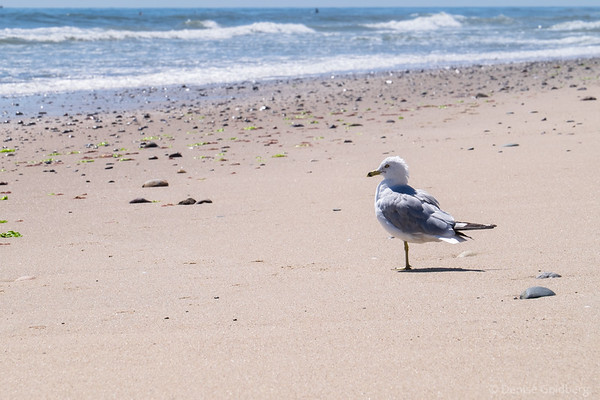 sea gull, Marconi Beach