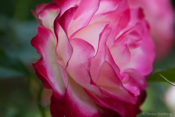 roses at Fuller Gardens