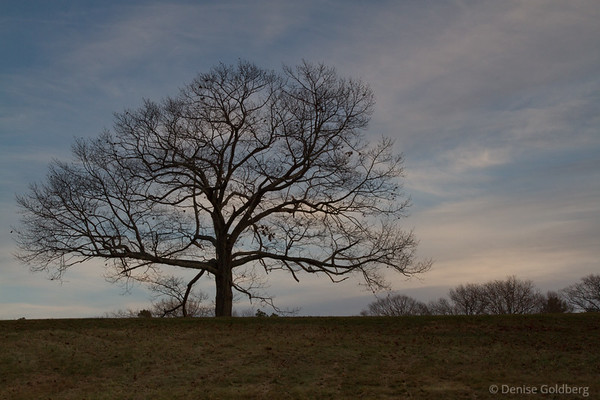 a tree without leaves, Maudslay State Park