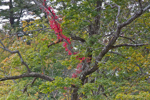 A tree wearing leaves of green with a pop of red winding around one branch