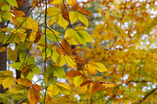leaves changing, green to yellow to brown