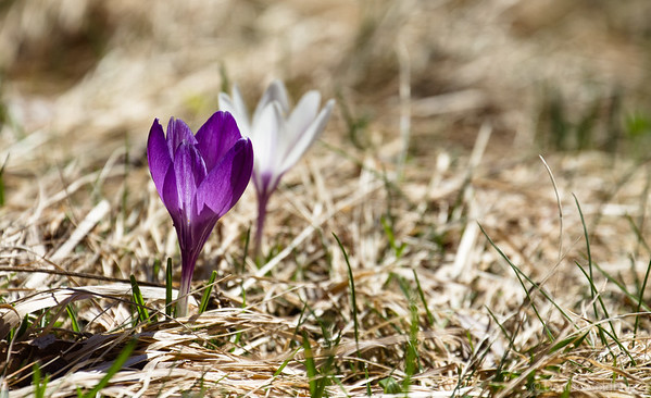 crocus in purple and white