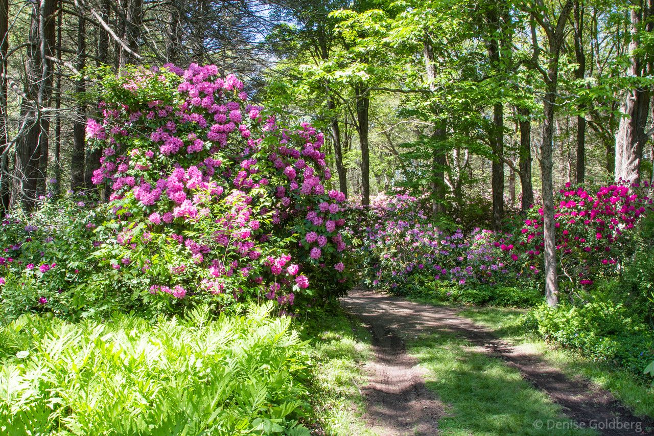 rhododendron everywhere!