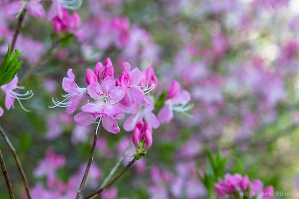 azalea in a sea of pink