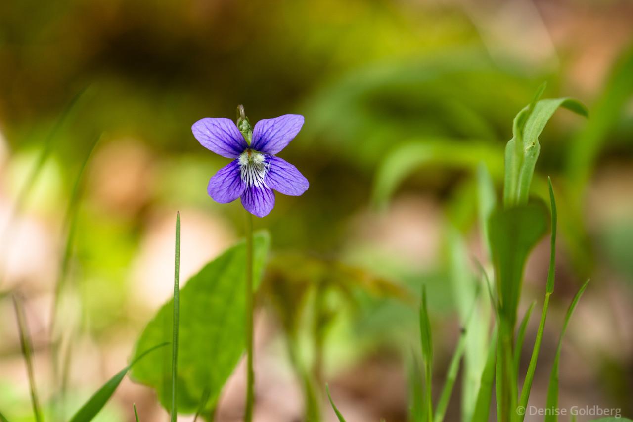 tiny perfections, a viola sororia