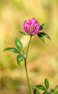a clover, still in bloom at the end of the season