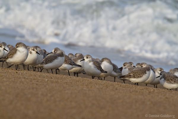 sanderlings standing, Parker River National Wildlife Refuge